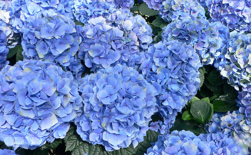 Lovely blue flowers that can unlock the true beauty of any Scottsdale/ Mesa Arizona backyard