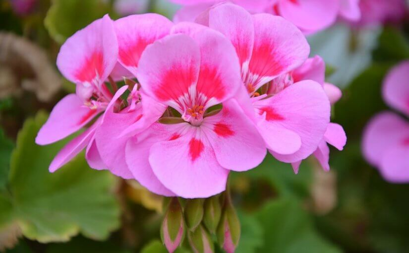 pink geraniums in AZ winter time