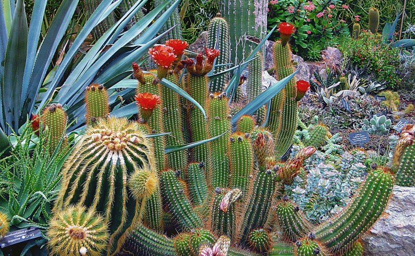 variety of cacti with red flowers