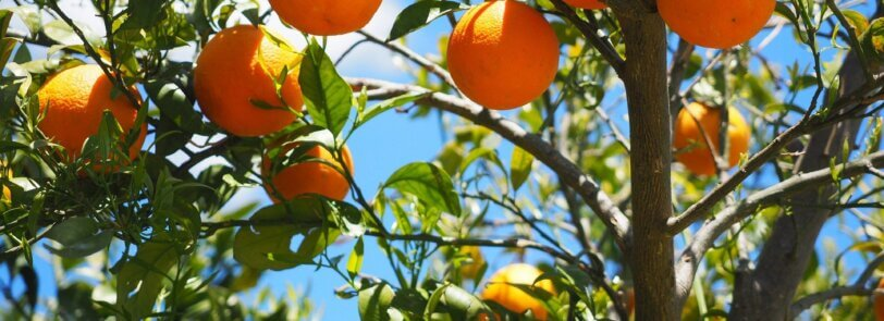 use citrus trees to add color to your desert landscaping