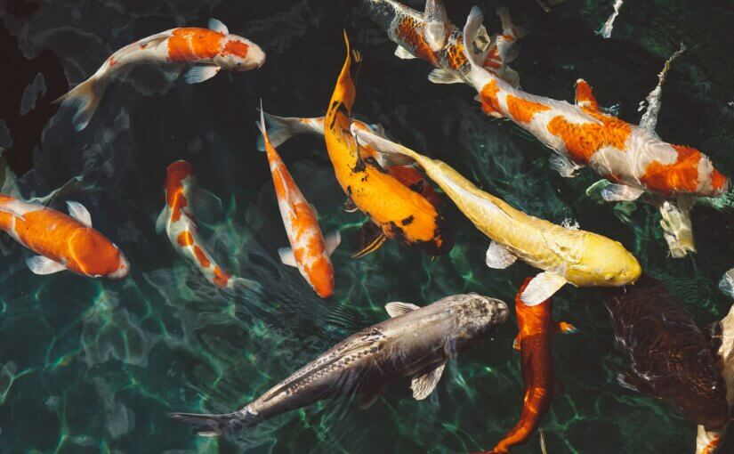 Build a koi pond to add color to your Arizona landscape